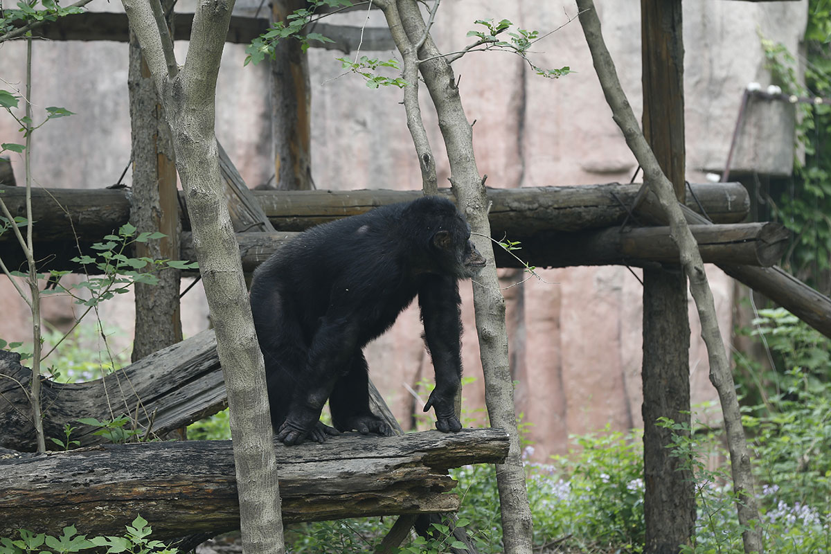 Горилла в пекинском зоопарке