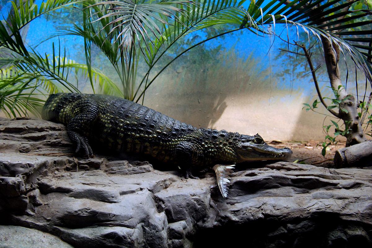 Крокодил в пекинском зоопарке