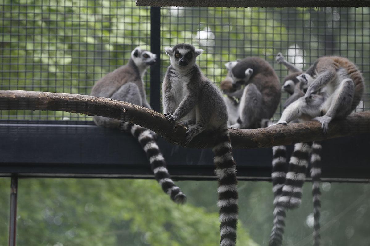 Лемуры в Пекинском Зоопарке